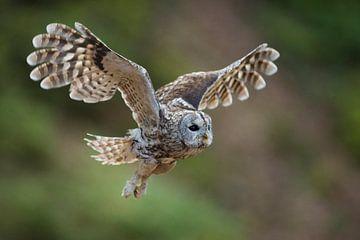 Waldkauz ( Strix aluco ) im Flug, fliegende Eule von wunderbare Erde