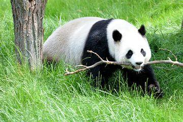 pandabeer speeltijd  von Emanuel Luyten
