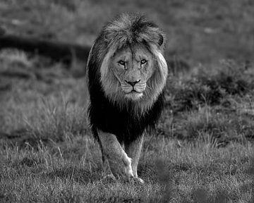 Dieser Löwe kommt mit einem intensiven Blick direkt zu Ihnen von Patrick van Bakkum
