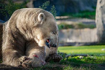 Eisbär genießt sein Frühstück von Evi Willemsen