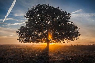 Eikenboom met stralenkrans van opkomende zon.