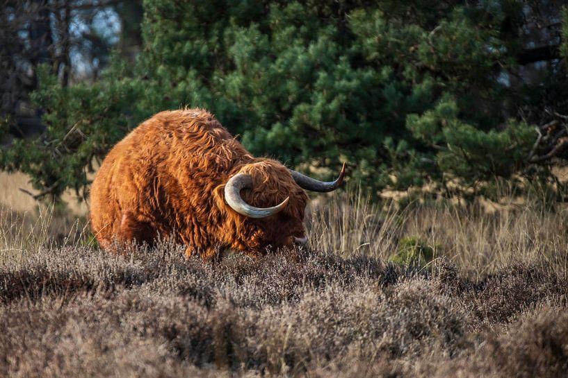 Scottish Bull van Meint Brookman