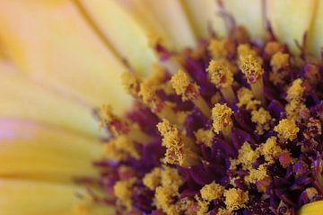 Gold flower, Goudsbloem Macrofotografie