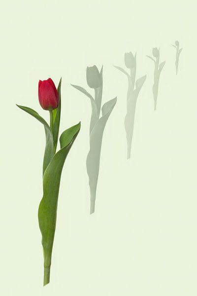 DIE Tulpe von Klaartje Majoor