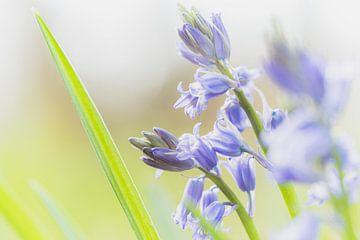 Blühende pastellviolette Hyazinthe von Fotografiecor .nl