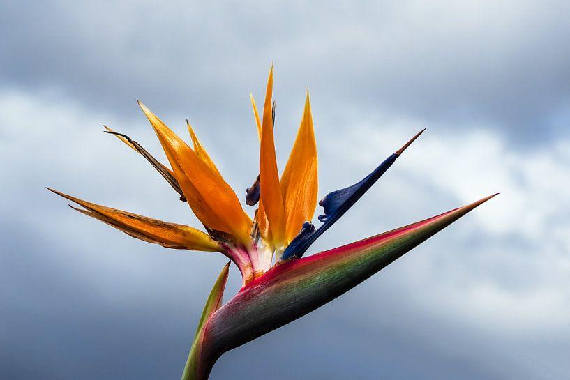 Bird of paradise flower in Funchal on the island Madeira, Portugal van Rico Ködder