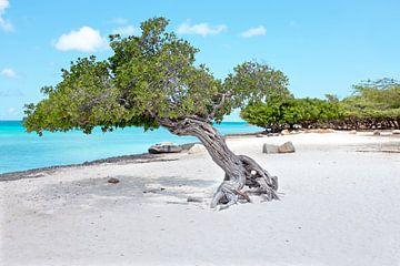 Divi divi Baum auf Aruba in der Karibik von Nisangha Masselink