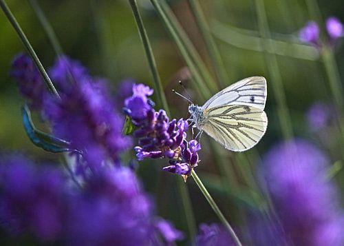Klein geaderd witje op Lavendel van Ina Hölzel