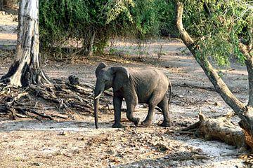 Jonge olifant langs de Chobe rivier van Merijn Loch