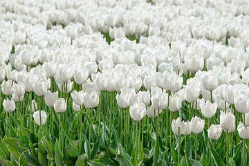 Weisse Tulip von Sjoerd van der Wal