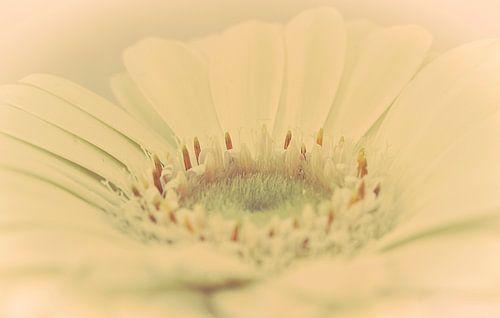 Bloemenhart van de Gerbera, droomsfeer