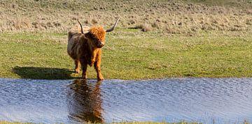 Schotse hooglander... van Bert - Photostreamkatwijk