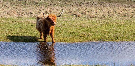 Schotse hooglander...