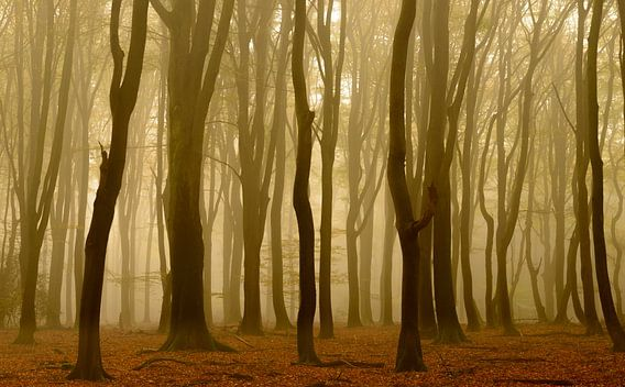 Beukenbomen tijdens een mistige herfst ochtend. van Sjoerd van der Wal