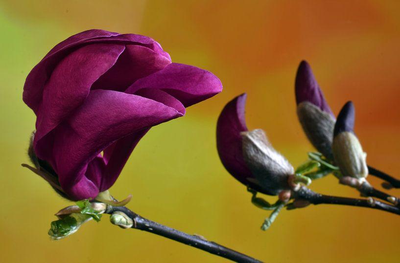 Magnolia, Beverboom bloem van Mark Rademaker