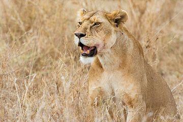 Serengeti Leeuwin van Ronne Vinkx