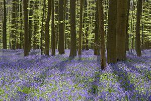 Wilde hyacinten in het Hallerbos van