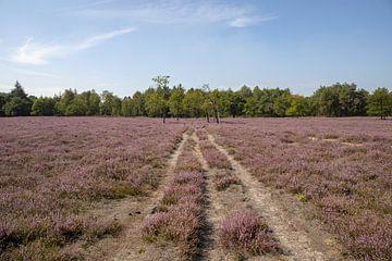 Heide in de bloei, Maashorst van Tanja van Beuningen