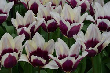 Tulipa Whitepurple van Marcel van Duinen