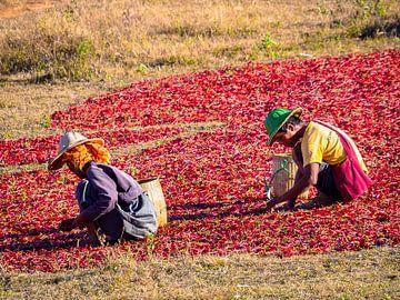 De peper boeren van Kalaw Myanmar van Rik Pijnenburg