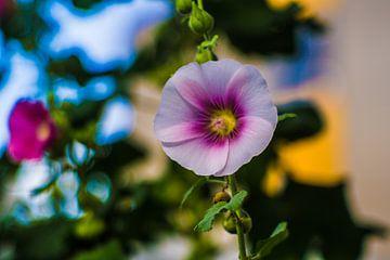 Althaea rosea, stokroos van Johan Dingemanse