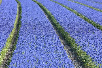 Veld met druifhyacinten - blauwe druifjes van Ronald Smits