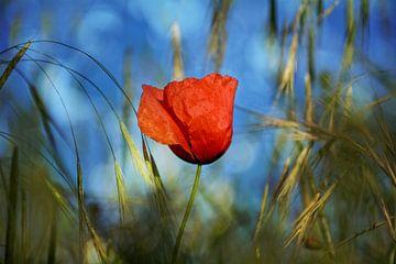 La fleur de pavot sur Claudia Evans