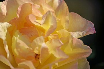 Gelbe Rose, rosé angehaucht von Wiebke Blume