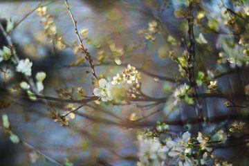 Lente bloesem  in Vondelpark van