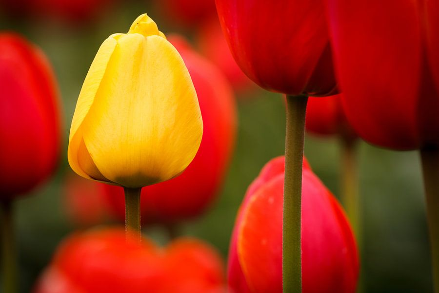 Tulpen - Standing out