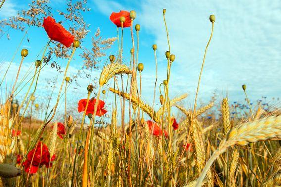 Midsummer goudgeel graan met rode papavers