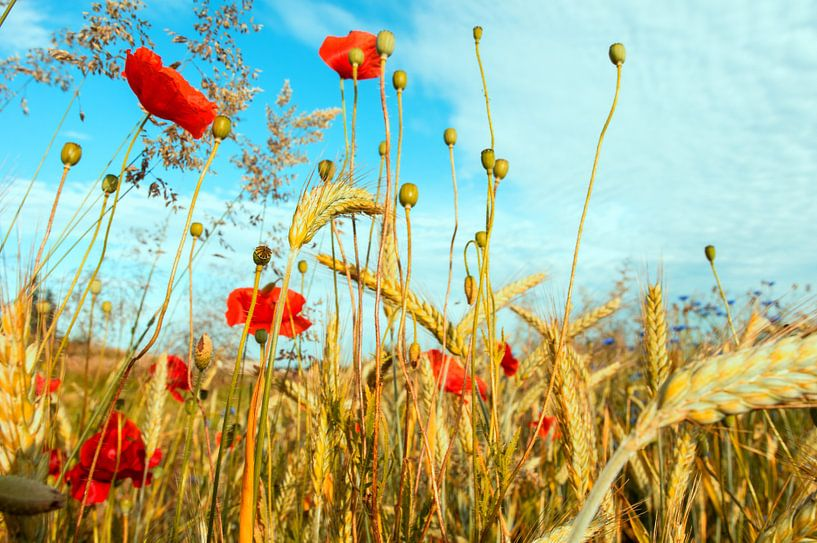Midsummer goudgeel graan met rode papavers van Tanja Riedel
