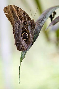Caligo Teucer - Uilvlinder rustend op een blad van rene marcel originals