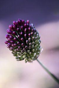 Allium bloem van Lily Ploeg