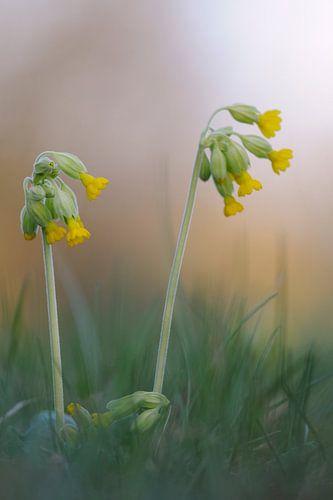 spring has come... Common Cowslips *Primula veris* van wunderbare Erde