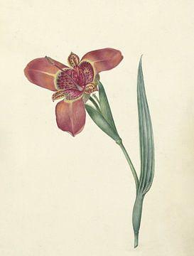 Bloem met de naam Ferraria Tigrina van C.J. Kruimel, 1817