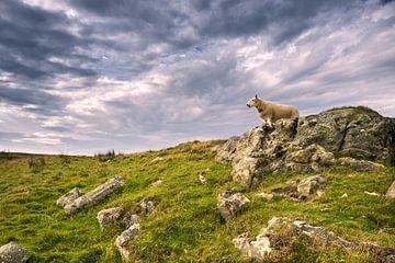 scottish  sheep von pixelstory