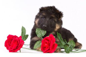 Duitse herder pup met rode rozen von Dagmar Hijmans