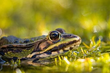 Frosch von Leo Kramp Fotografie