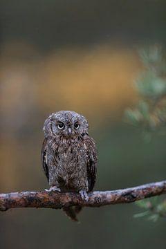 Pygmeeëneeuwuil ( Otus scops ) zit op de tak van een dennenboom voor een prachtige achtergrond, Euro van wunderbare Erde