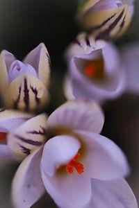 Botanische krokussen  van