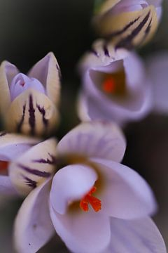 Botanische krokussen  van Lily Ploeg