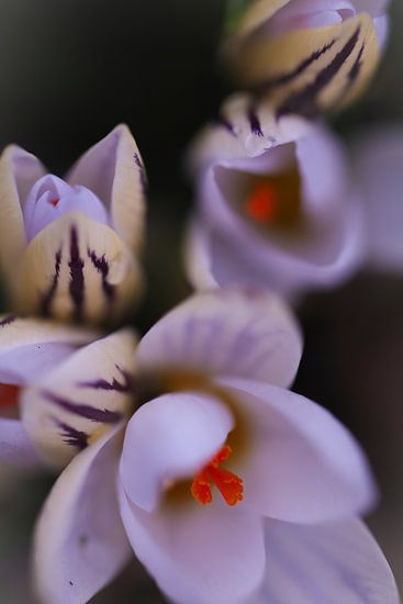 Botanische krokussen