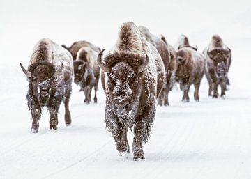 Bisonherde in Winterlandschaft mit Schnee von Diana van Tankeren