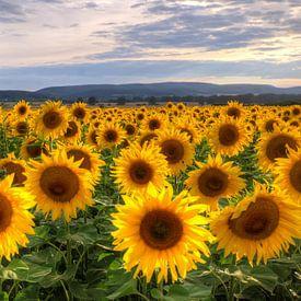 Sunflowersfield sur Steffen Gierok