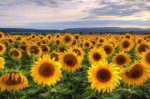 Sunflowersfield van