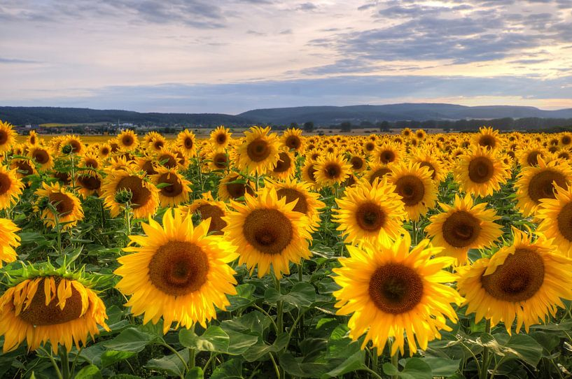 Sunflowersfield van Steffen Gierok