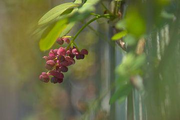 Akebie-Blume von Koel Arts