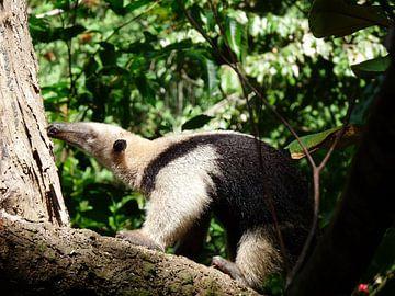 Miereneter in Costa Rica, National Park Corcovado van Maro Lange