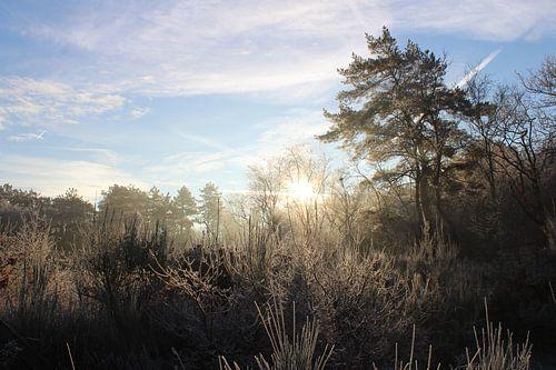 Vroege morgen in de Schoorlse bossen van
